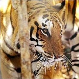 Cina: il 2010 è l'anno della tigre, ma il felino rischia l'estinzione
