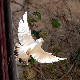 Vita da volatili: dai matrimoni ai funerali, i mille simboli delle colombe viaggiatrici