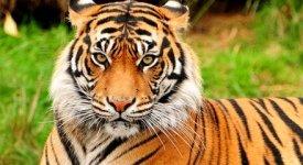 Tigri senza futuro, per gli scienziati potrebbero scomparire entro il 2050