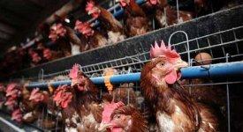 Gabbie 'arricchite' in batteria per 40 mln di galline. Ecco come scegliere le uova in modo etico