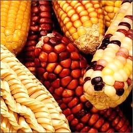 OGM: Commissione europea autorizza patate e mais transgenici
