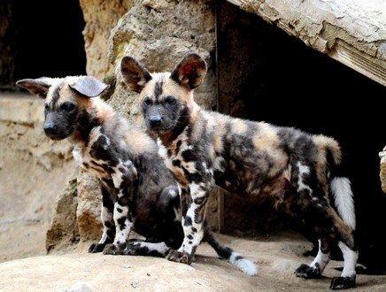 Dall'Africa al Bioparco di Roma sfuggendo dall'estinzione, la storia di due cuccioli di Licaone