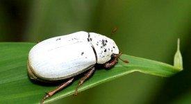 Dal bianco di un coleottero asiatico possibile  produrre vernici e materiali eco-efficienti