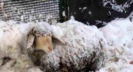 Il sisma degli animali: -30% di latte causa stress da scosse, pronte solo 77 stalle su 635 previste