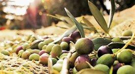 Da Cultivar a O.P: l'oliva Peranzana riunisce 1800 produttori e diventa un brand